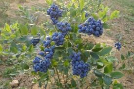 国外最新研究——防草布应用有利蓝莓生长